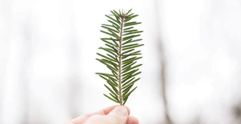A person holds up a lone pine needle against a white background